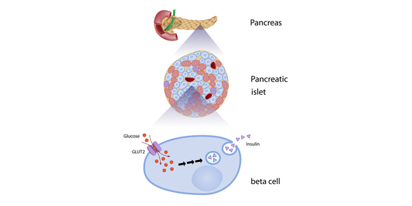 Beta-Cell Biology